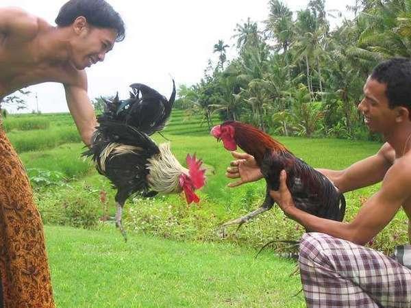 Puri Taman Sari Bali - Cock Fighting