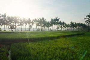 Bhuwana Ubud Hotel Bali - Rice field