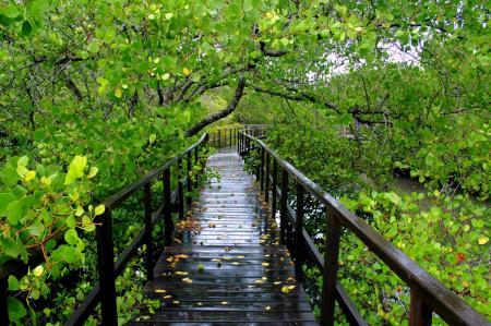 mangrove pik