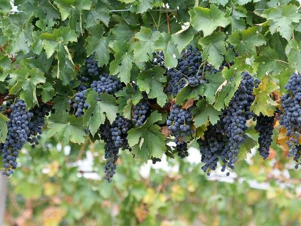 Kebun Anggur Di Surabaya