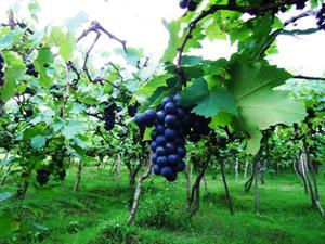 singaraja-grape
