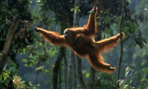 orangutan_worldlifeorg