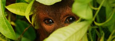orangutanorg