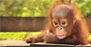 orangutanorid
