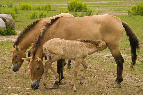 horsemilk