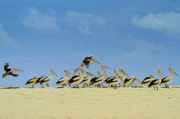 Pelikan di Pantai Ngurtafur