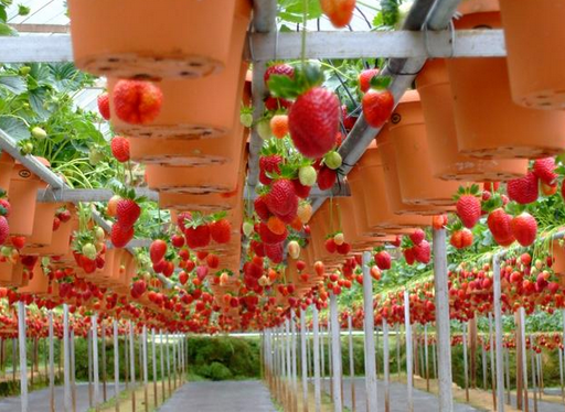 Kebun Strawberry Parongpong Bandung