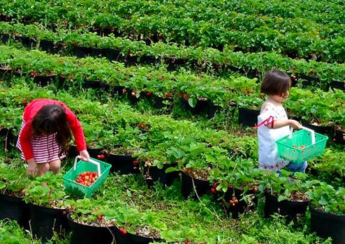 Kebun Strawberry Parongpong