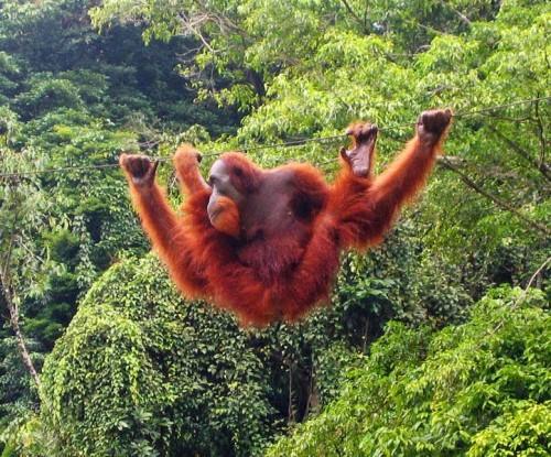 bukit-lawang-orangutan