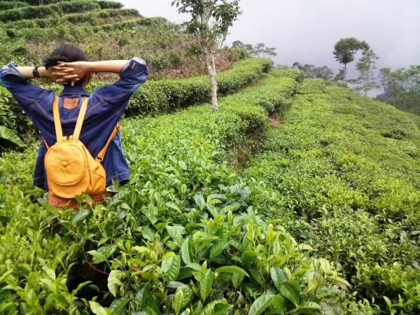 Menyusuri perkebunan teh
