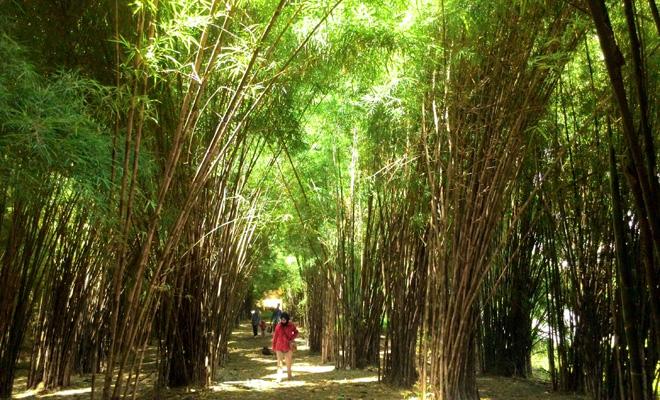 hutan bambu kemutih
