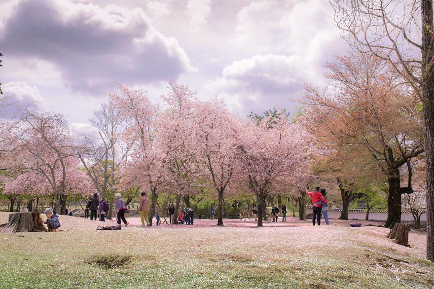 Wisata jogja bunga sakura