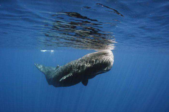ikan-paus-sperma