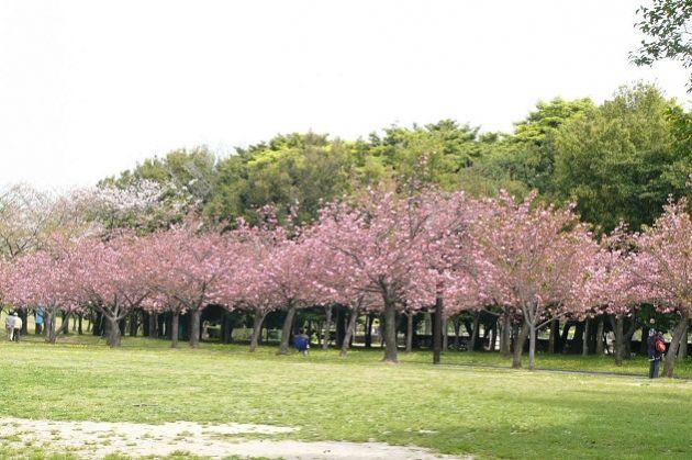 taman-sakura