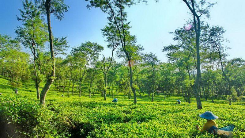 Tamasya ke 7 Perkebunan Teh Indah di Jawa