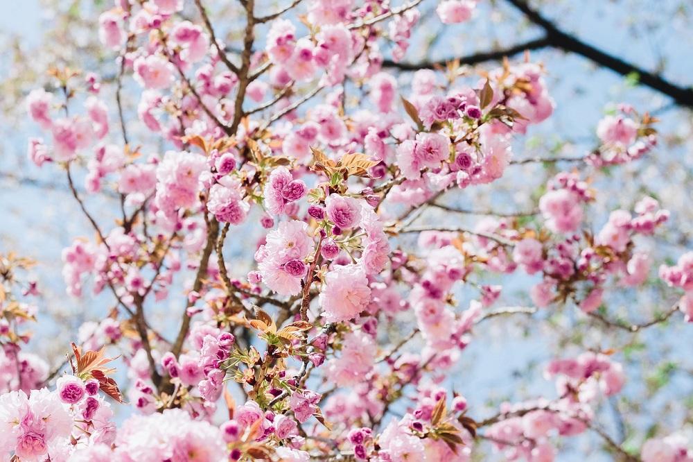 Bunga Sakura King Bjgmc Tb Org