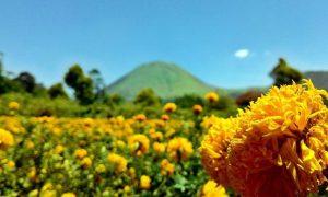 tomohon bunga